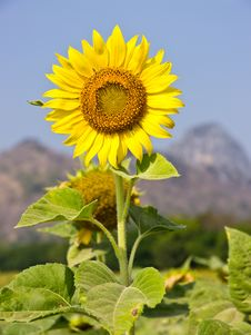 Free Sunflower Stock Photography - 22619992