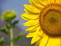 Free Sunflower Royalty Free Stock Images - 22620059