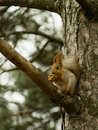 Free Squirrel. Stock Photos - 22628603