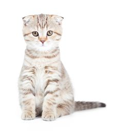 Free Scottish Kitten Fold Isolated Royalty Free Stock Photo - 22620085