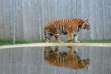 Free Tiger Reflection Stock Photos - 22623513