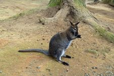 Free Wallaby Stock Image - 22623621