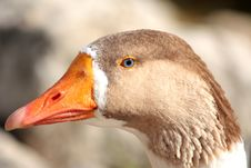 Free Head Of A Blue-Eyed Goose Stock Images - 22623754