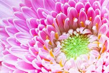 Free Gerbera Pink White Flower Stock Images - 22626604