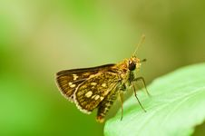 Hesperiidae Skipper Butterfly Stock Photography