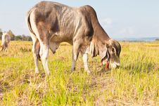 Free Asian Cow Eating The Grass On The Field Royalty Free Stock Photos - 22634728