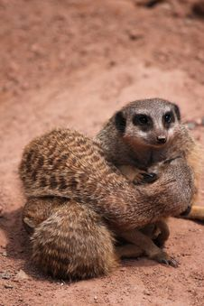 Free Meerkats Huggle Together Royalty Free Stock Photography - 22639847