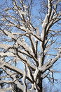 Free Bare Oak Tree Under Snow Stock Photo - 22641210