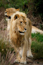 Free Young Male Lion Royalty Free Stock Photos - 22645418