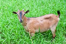 Free Goat On Grass Field Royalty Free Stock Photo - 22645035