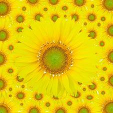Free Sunflowers Royalty Free Stock Photo - 22649845