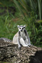 Free Ring-tailed Lemur Royalty Free Stock Image - 22650266