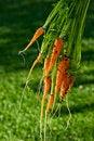 Free Bunch Of Fresh Organic Carrots Royalty Free Stock Photo - 22651305