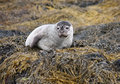 Free Grey Seal. Stock Photography - 22659292