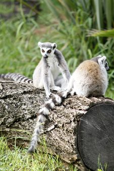Pair Of Ring-tailed Lemur Royalty Free Stock Image