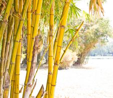 Free Bamboo. Royalty Free Stock Images - 22658349