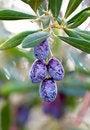 Free Olives Stock Image - 22679511