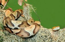 Free Copperhead Snake Coiled On Tree Limb Stock Photo - 22670160