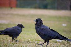 Free Australian Raven Royalty Free Stock Photos - 22673058
