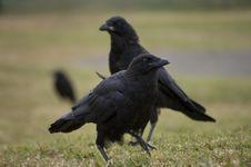 Free Australian Raven Stock Images - 22673064
