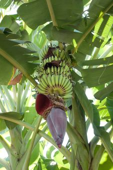 Free Banana Stock Image - 22675501