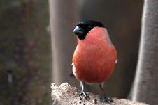 Free Bullfinch Male Close Up Stock Photos - 22676073