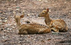 Free Spotted Deers Stock Images - 22676614
