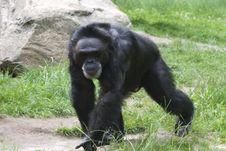 Free Black Gorilla Stock Photography - 22678472