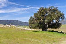 Free Big Old Tree Near Anza Borrego Desert. Royalty Free Stock Image - 22679986