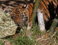 Free Baby Tiger Stock Images - 22682614