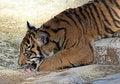 Free Baby Tiger Royalty Free Stock Image - 22682696