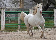 Free White Arab Stallion. Stock Photos - 22680483