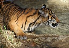 Free Baby Tiger Stock Photos - 22682713