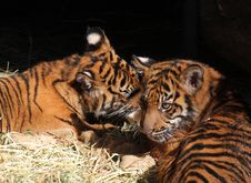Free Tiger Cubs Stock Image - 22682771