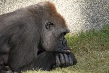 Free Resting Gorilla Stock Image - 22683001