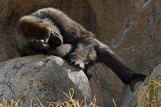 Free Gorilla Royalty Free Stock Photos - 22683138