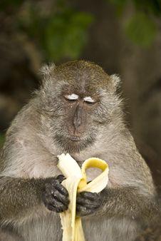 Free Monkey Eating Banana Royalty Free Stock Image - 22684196