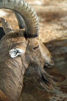 Free Ibex Goat Royalty Free Stock Images - 22684279