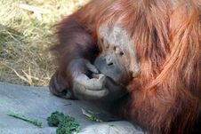 Free Orangutan Stock Images - 22684474