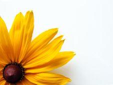 Yellow Rudbeckia Royalty Free Stock Photography