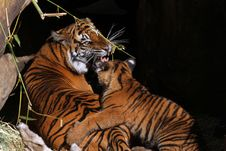 Free Mother Tiger And Cub Royalty Free Stock Photos - 22684588