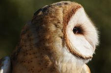 Owl In Profile Stock Photography
