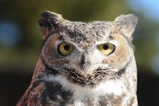 Free Horned Owl Stock Photos - 22688893
