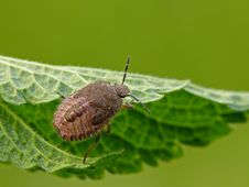 Free Sloe Bug Stock Photography - 22698992