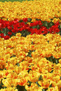 Free Red And Yellow Tulips Royalty Free Stock Image - 2270026