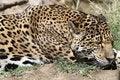 Free Jaguar Royalty Free Stock Images - 2273859