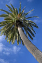 Free Canarian Palm 1 Stock Photography - 2276342