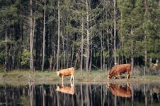 Two Cows Reflex Royalty Free Stock Photography