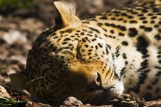 Sleeping Leopard Royalty Free Stock Photos