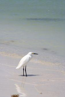 Free Snowy Egret Royalty Free Stock Image - 2271776